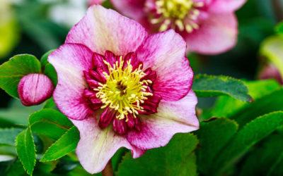 Helleborus – ein Blütengruß im Winter